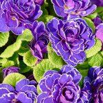 プリムラを植えよう!秋から長く楽しめる花《プリムラ》