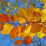 秋に紅葉する樹木・植物と紅葉のメカニズムについて