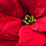 クリスマスに飾りたい花や大切なあの人に贈りたい植物たち