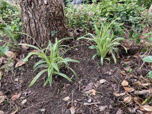 ヤブランの苗を植える