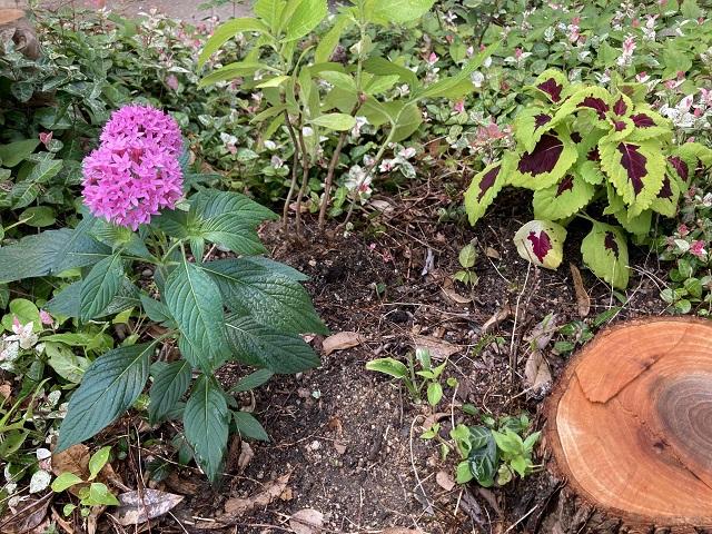ギボウシの周りに植物を植える